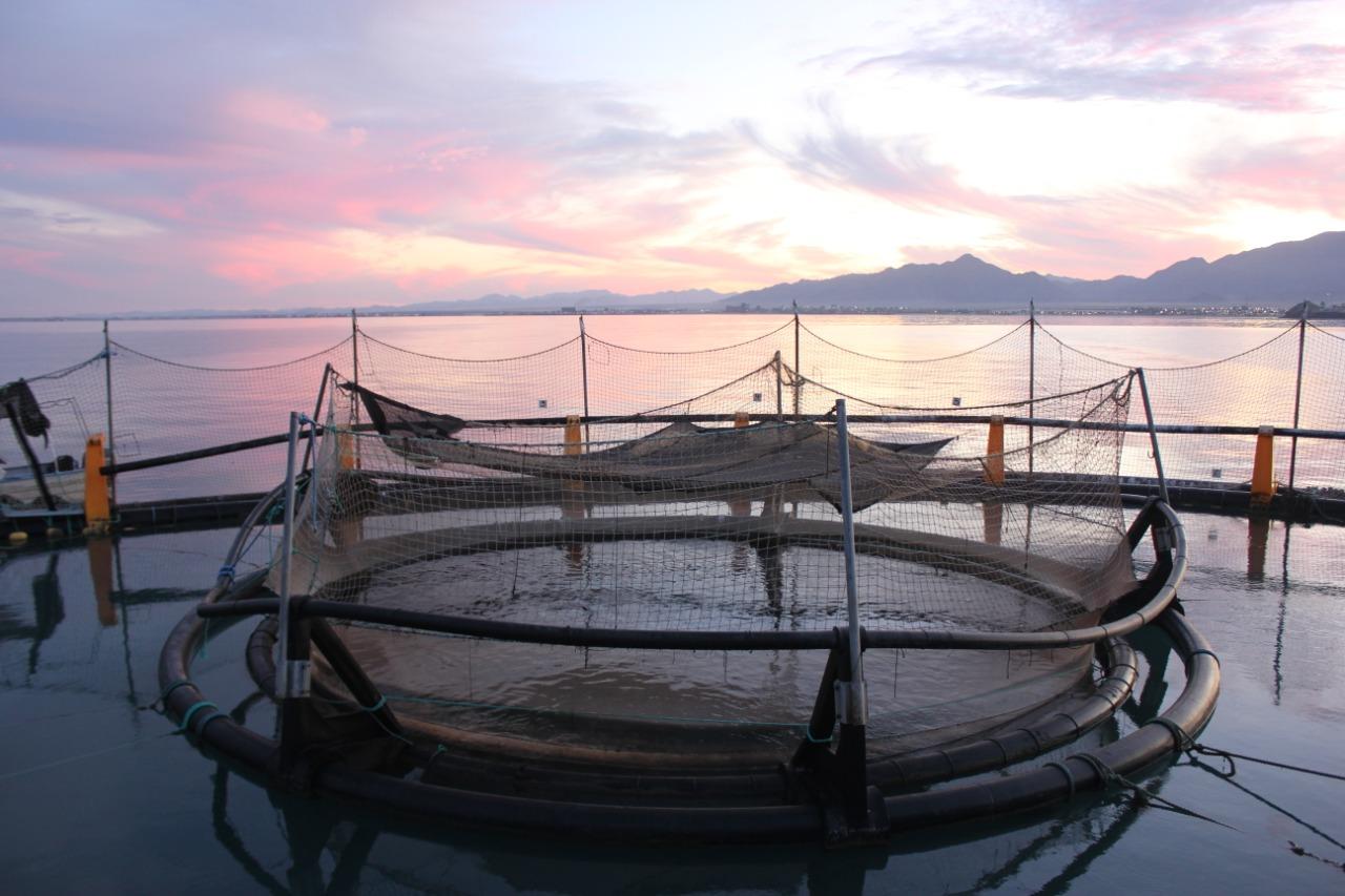 Avanza en San Felipe primer cultivo de totoaba para comercializar