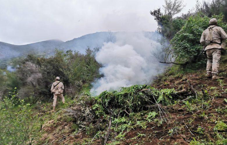 Destruyen plantío de amapola de más de 12 mil metros cuadrados
