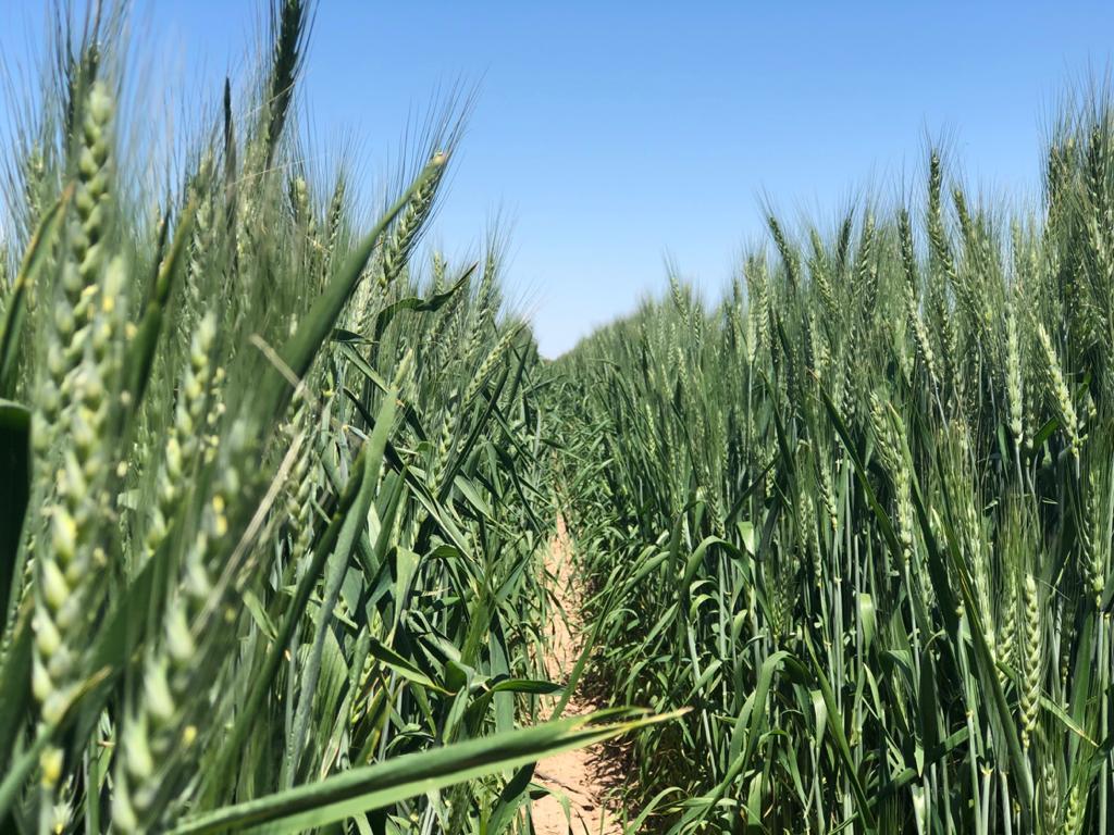 Avanza investigación agrícola de cultivos de reconversión productiva en el Valle de Mexicali