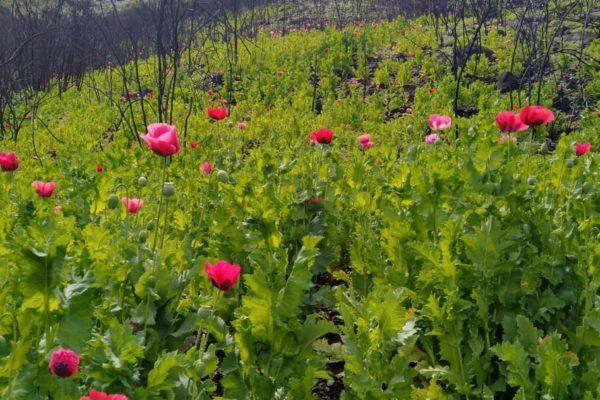 Destruyen plantíos de amapola con un valor superior a los 7 MDP