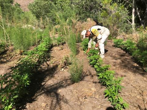 Destruyen cuatro plantíos de marihuana en Valle de la Trinidad