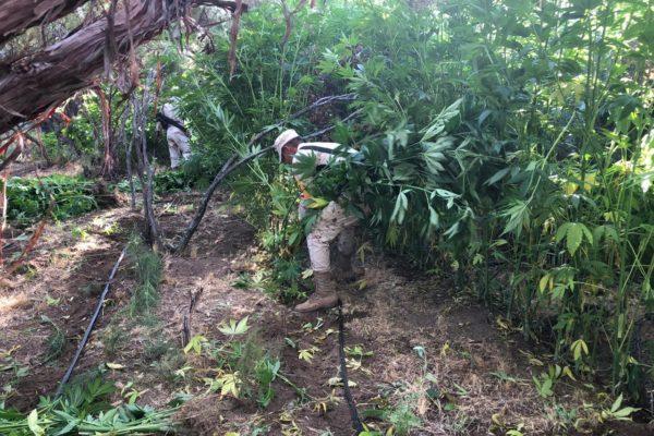 Destruyen cinco plantíos de marihuana