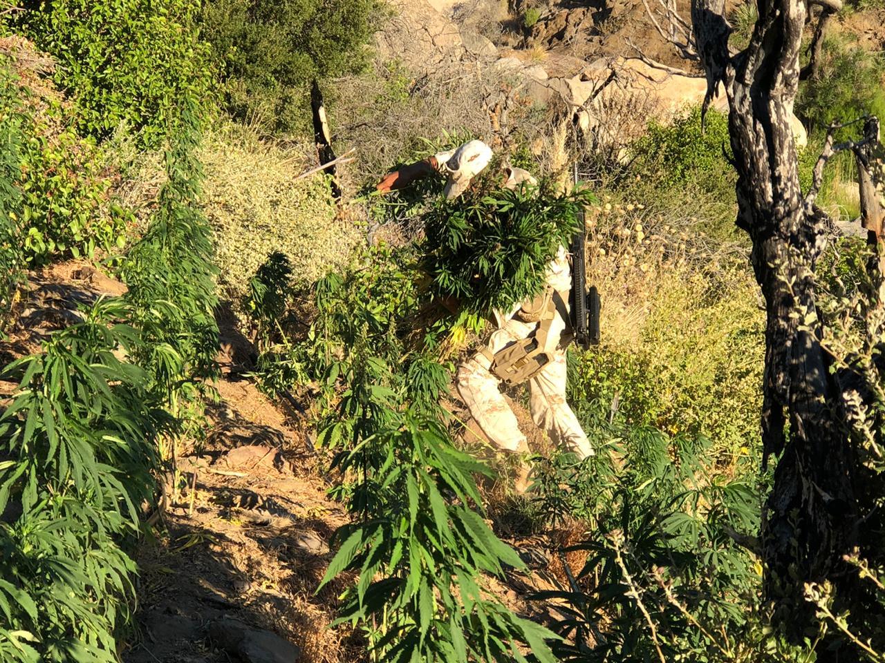 Localizan plantío de marihuana que produciría más de 4 MDP al narco