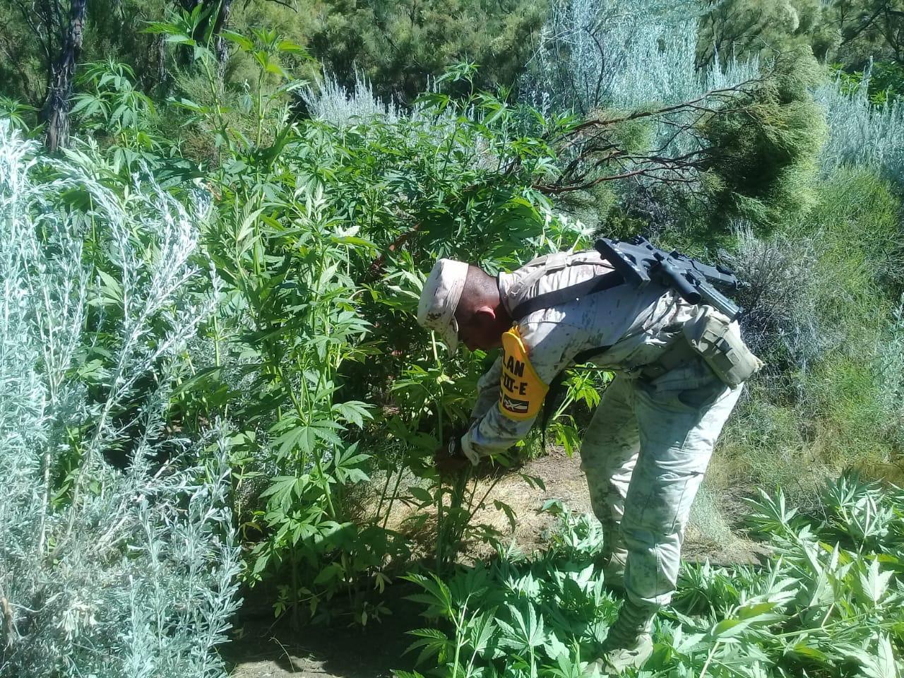 Destruyen plantío de marihuana en el cerro Los Alisos