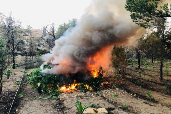 Destruyen plantío de marihuana en el arroyo Las Palomas