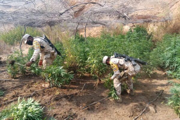 Destruyen 9 plantíos de marihuana en la Cañada de San Jorge