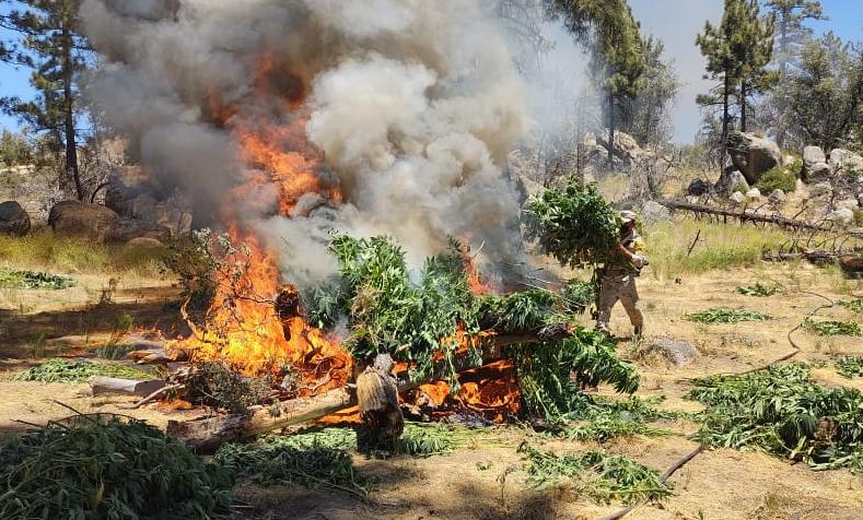 Destruyen cinco plantíos de marihuana en Valle de la Trinidad