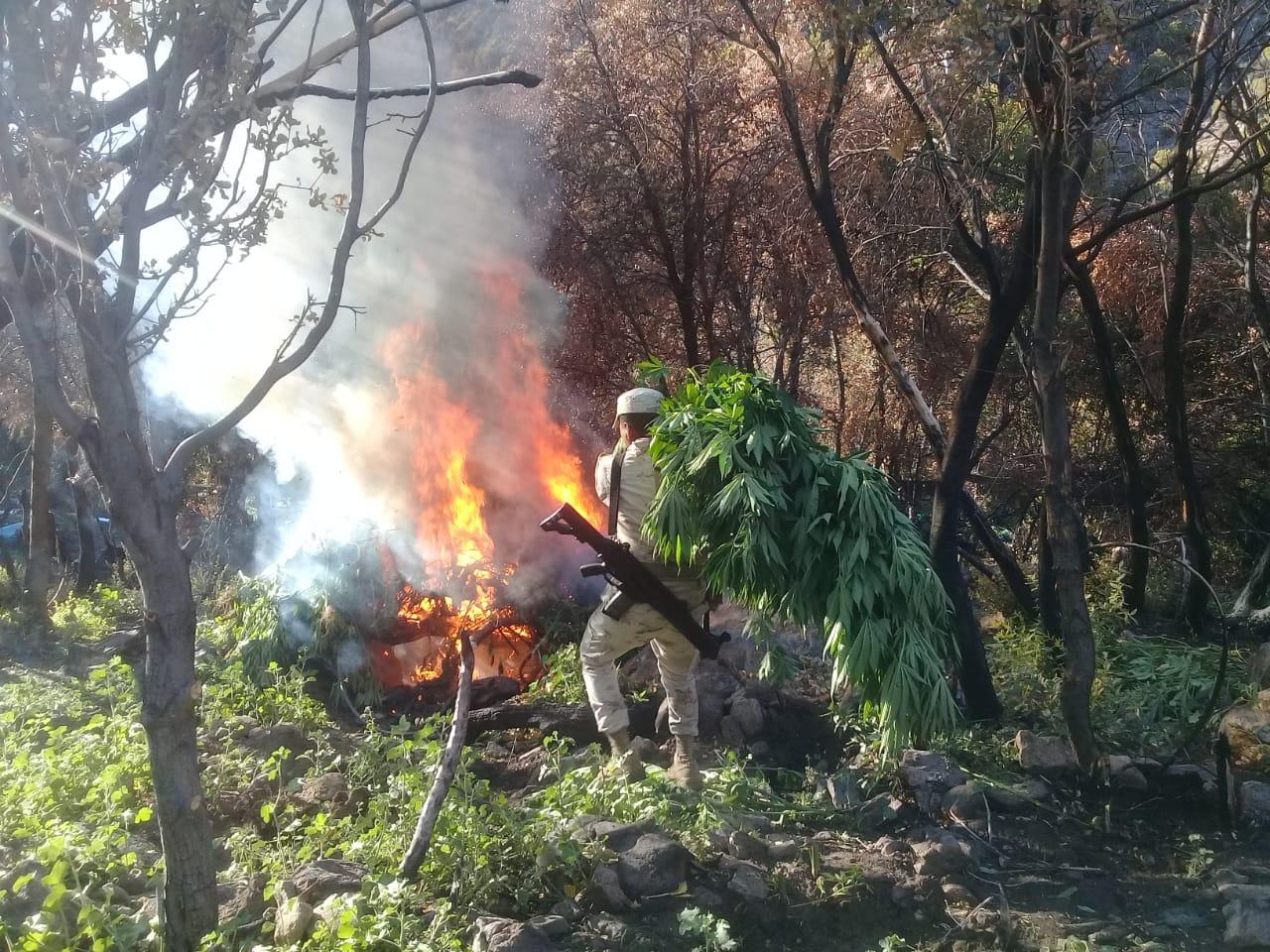 Destruyen dos plantíos de marihuana en Valle de la Trinidad