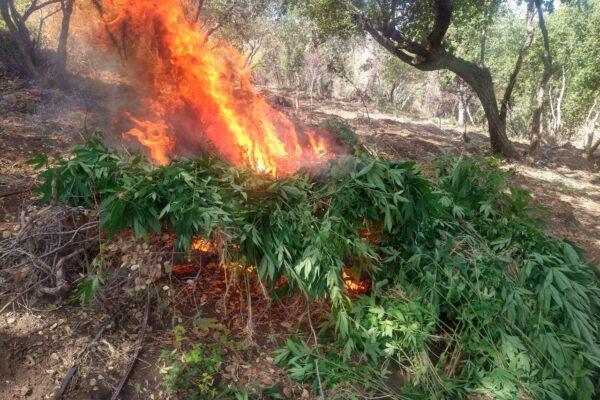 Destruyen 6 plantíos de marihuana en el Poblado el Ajusco
