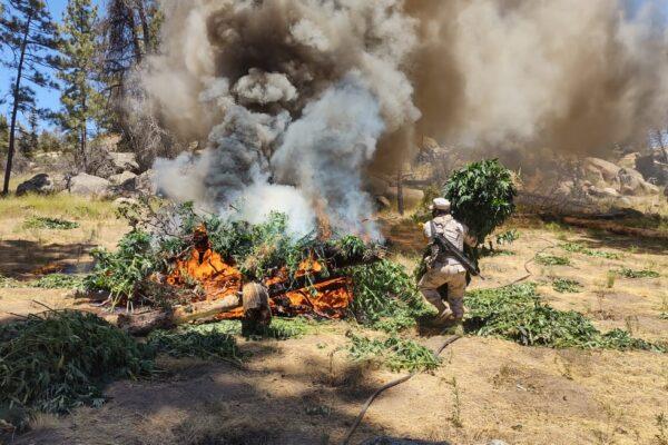 Destruyen 4 sembradíos de marihuana que producirían casi 80 mil plantas