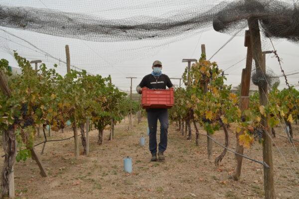 Impulsan el uso experimental de agua tratada en cultivo de uva
