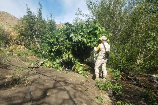 Destruyen 4 plantíos de marihuana en el Picacho del Diablo