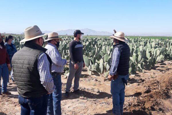 El nopal es un cultivo de reconversión viable en el Valle de Mexicali