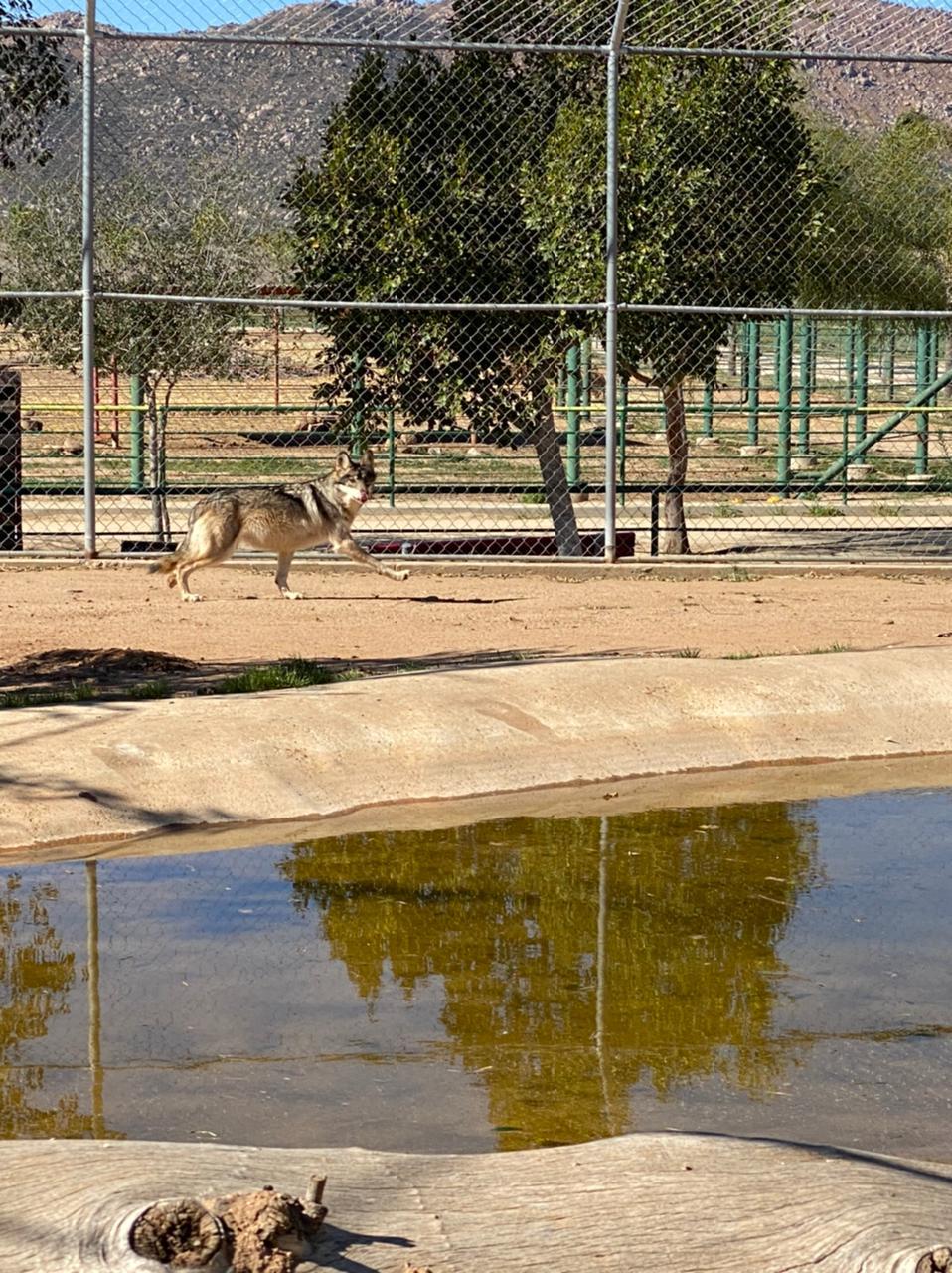 Llegan dos lobos grises mexicanos al Zoológico del Niño Jersey