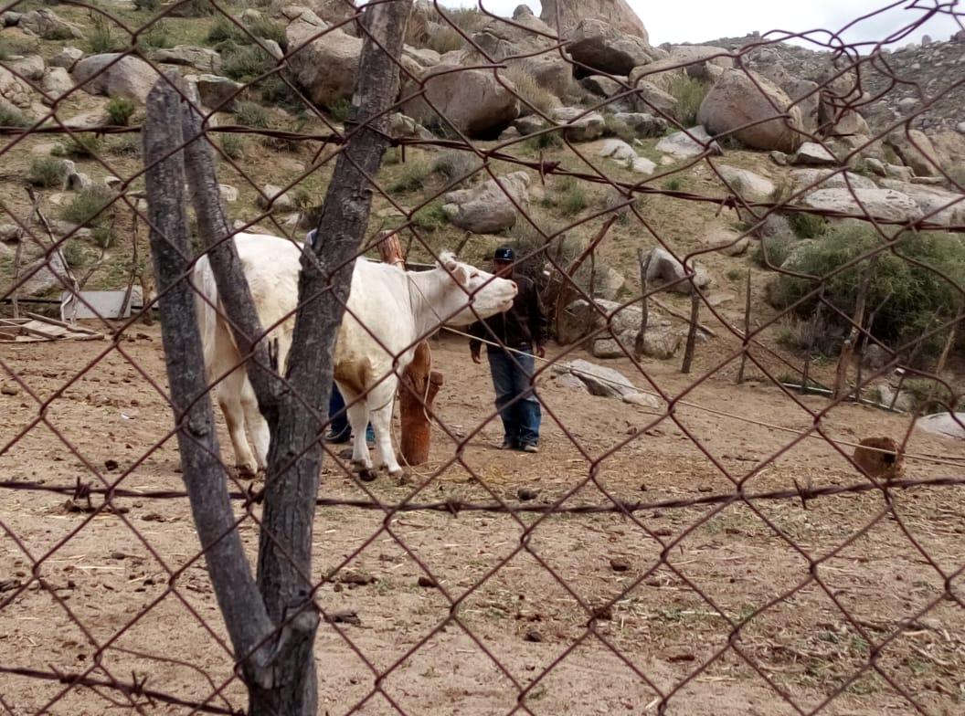 Por abigeato catean rancho en Tecate y localizan vaca robada