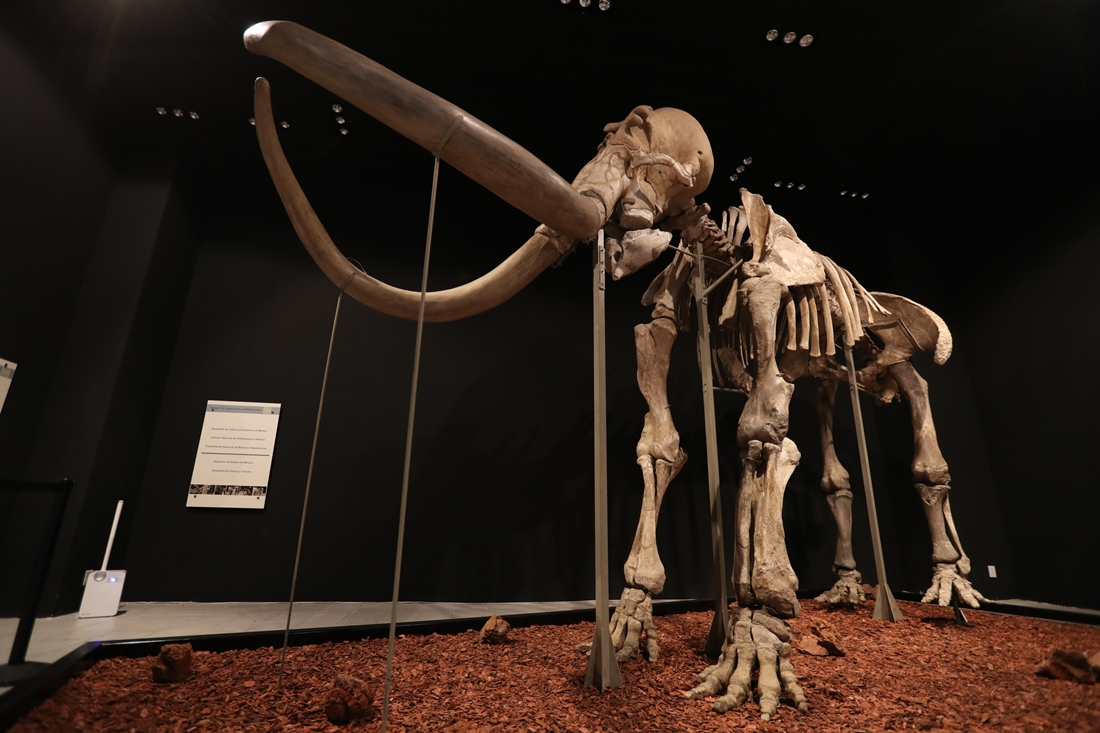 """El """"Mamut de Ecatepec"""" llega a Toluca para exhibirse en el Museo de Antropología e Historia"""