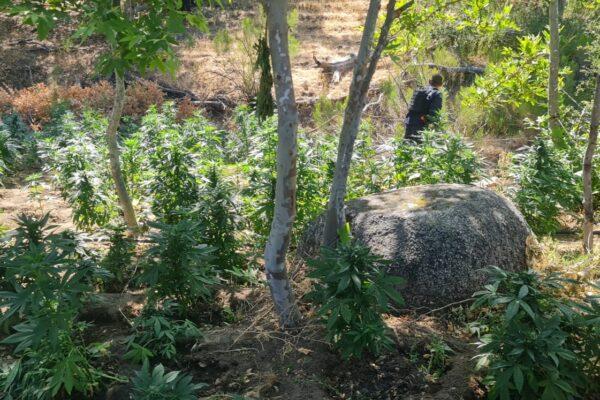 Destruyen plantío con más de 7 mil plantas de marihuana