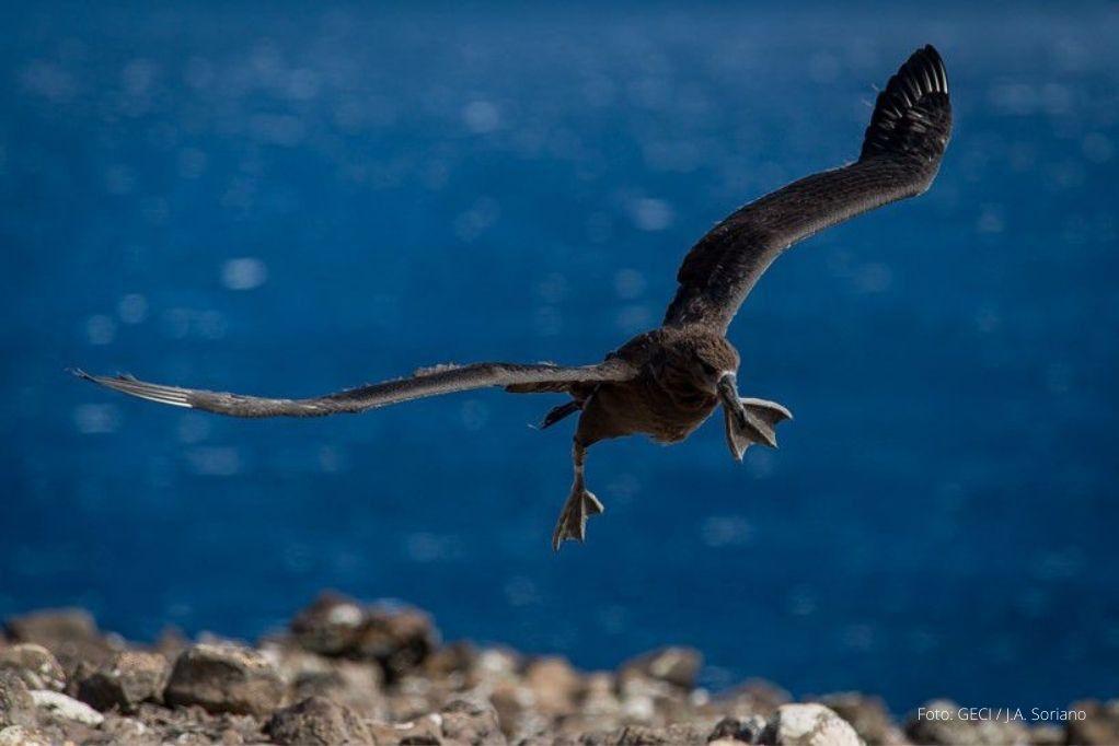 Vuela Primer Albatros de Patas Negras del Proyecto de Repoblamiento en Isla de Guadalupe BC