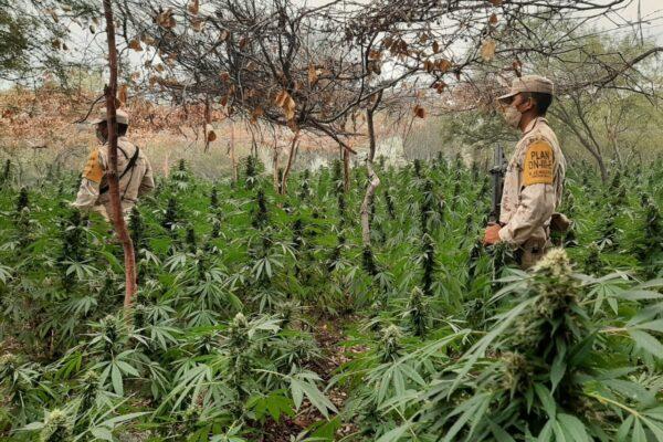Destruyen 9 plantíos de marihuana en Centro Ecoturístico en Ensenada