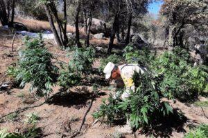 Destruyen 3 plantíos de marihuana en la Sierra de Juárez